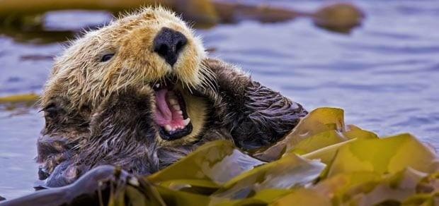 yawning-otter_1973063i